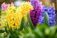 Blue ,yellow and pink hyacinth close up in Holland garden , spring time flowers. Blue and pink hyacinth close up in Holland garden , spring time flowers royalty free stock photo