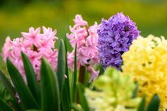 Blue ,yellow and pink hyacinth close up in Holland garden , spring time flowers. Blue and pink hyacinth close up in Holland garden , spring time flowers stock photo