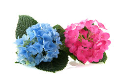 Blue and pink Hydrangea Royalty Free Stock Photos