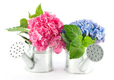 Blue and pink hydrangea blooms Stock Image