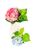 Blue and pink hydrangea blooms Royalty Free Stock Photo
