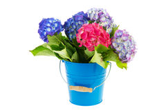 Blue and pink Hydrangea in bucket Royalty Free Stock Photography