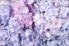 Blue and pink hydrangea macrophylla Royalty Free Stock Photos