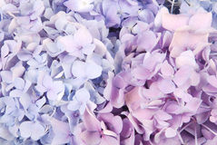 Blue and pink hydrangea macrophylla Royalty Free Stock Photo