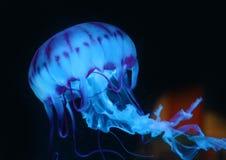 Blue Pink Jellyfish in dark background, beautiful animal. Stock Image