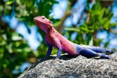 Blue pink lizard Royalty Free Stock Image