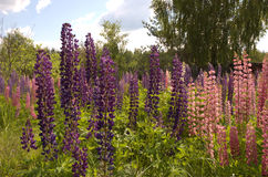 Blue and pink lupins. Blooming lupins Stock Image