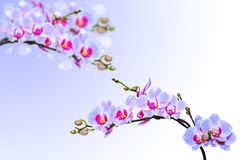 Blue pink orchid flowers on blurred gradient Stock Photo