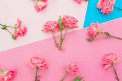 Blue and pink pastel background with roses flowers. Flat lay. Top view. Blue and pink pastel background with roses flowers. Flat lay royalty free stock photos