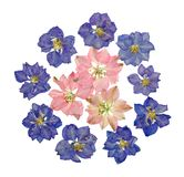 Blue and pink pressed larkspur flowers. Collection of pressed dark blue and pale pink larkspur flowers. Isolated on white Royalty Free Stock Images