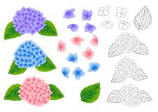 Blue, Pink and Purple Hydrangea Flower Outline. isolated on White Background. Vector Illustration. Stock Images