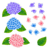 Blue, Pink and Purple Hydrangea Flower  on White Background. Vector Illustration Royalty Free Stock Image