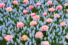 Blue and pink spring  flowerbed Stock Image