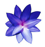 Blue-pink-white flower.  White isolated background with clipping path.   Closeup.  no shadows.  For design. Royalty Free Stock Photos
