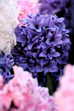 Blue, pink and white hyacinths, Watercolor Stock Image