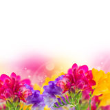 Blue, pink and yellow freesia  flowers Royalty Free Stock Photo