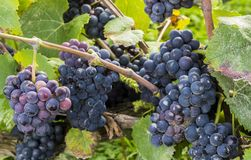Pinot Noir Grapes in France. Blue pinot noir grapes with a little bit of rotting pourriture in the Champagne area in Champagne Ardenne, France Royalty Free Stock Photos