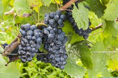 Pinot Noir Grapes in Autumn. Blue pinot noir grapes with a little bit of rotting pourriture in the Champagne area in Champagne Ardenne, France Stock Image
