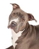 Blue Pit Bull Dog Closeup Stock Photography