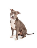 Blue Pit Bull Dog Sitting Looking Forward Stock Photo