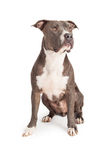 Blue Pit Bull Dog Sitting Looking to Side Royalty Free Stock Images