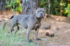 Blue Pit Bull. Outdoor animal shelter adoption photo Royalty Free Stock Photos