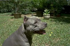 Blue Pit Bull. Terrier enjoying the weather Stock Photos