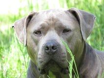 Blue pit bull type dog  Stock Photos