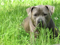 Blue pit bull type dog  Royalty Free Stock Images