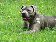 Blue pit bull type dog  Stock Images