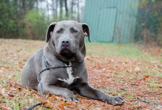 Blue Pitbull bulldog mixed breed dog. Outdoor pet photography for Walton County Animal Control shelter Georgia, humane society adoption photography royalty free stock photography