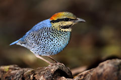 ฺBlue Pitta Stock Photography