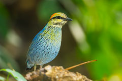 Blue pitta (Hydrornis cyaneus) Stock Photo