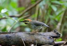 Blue Pitta Hydrornis cyaneus female Stock Photo