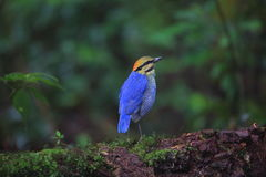 Blue pitta Stock Images
