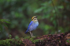 Blue pitta Royalty Free Stock Images