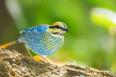 Blue pitta (Hydrornis cyaneus) Stock Images