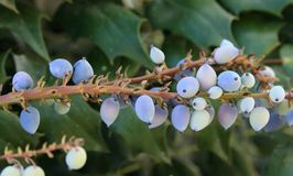 Blue, Plant, Flora, Blueberry Royalty Free Stock Photos