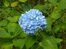 Blue, Plant, Flower, Hydrangea stock photography