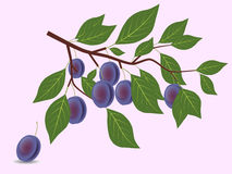Blue plum branch Royalty Free Stock Image