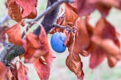 Blue plum fruit on a plum tree Stock Photography