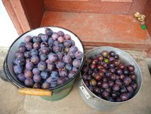 Blue plum harvest in the water bucket royalty free stock images