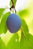 Blue plum macro Royalty Free Stock Images
