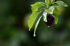 Blue plum after the rain Royalty Free Stock Photo