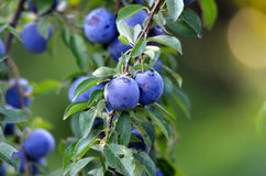 Blue plum , ripened in an orchard Stock Images