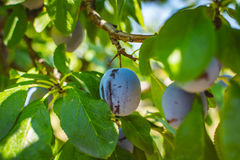 Blue plum tree fruit - Organic healthy food from the nature. Plums are a good choice for beginner gardeners who want to grow fruit trees. Plum trees are widely Stock Photo