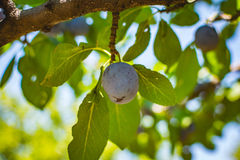 Blue plum tree fruit - Organic healthy food from the nature. Plums are a good choice for beginner gardeners who want to grow fruit trees. Plum trees are widely Stock Photography