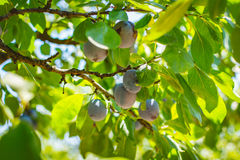 Blue plum tree fruit - Organic healthy food from the nature. Plums are a good choice for beginner gardeners who want to grow fruit trees. Plum trees are widely Royalty Free Stock Photography