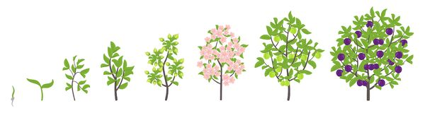Blue Plum tree growth stages. Vector illustration. Ripening period progression. Damsons fruit tree life cycle animation plant. Blue Plum tree growth stages vector illustration