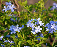 Plumbago. Blue Plumbago blooming n a garden Royalty Free Stock Photos